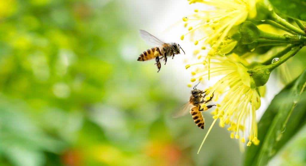 Maksika Honey shutterstock 1319683043